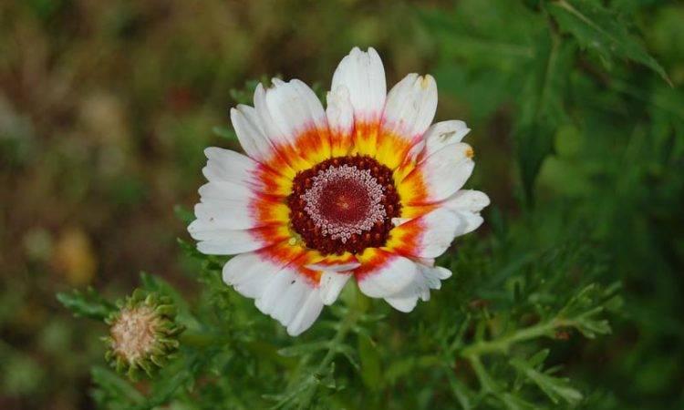 Хризантема - фото, посадка и уход, сорта, как пересадить, выращивание из семян и черенкование