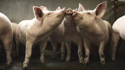 Крупная белая порода свиней: характеристики, обзор условий содержания