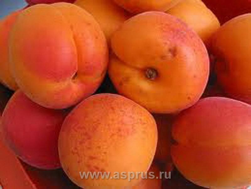 Абрикос ранний: топ лучших сортов с фото, описание, выращивание