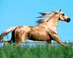 Особенность каурых лошадей