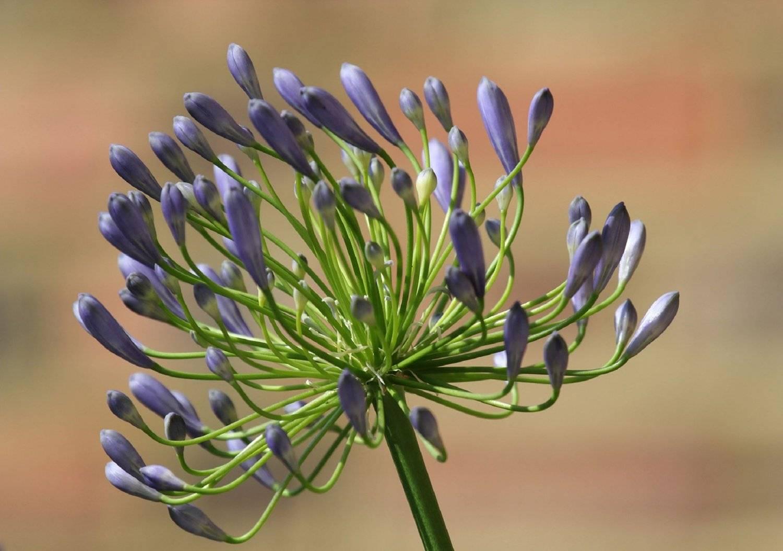 Декоративное растение из южной африки — агапантус. описание, виды, правила выращивания