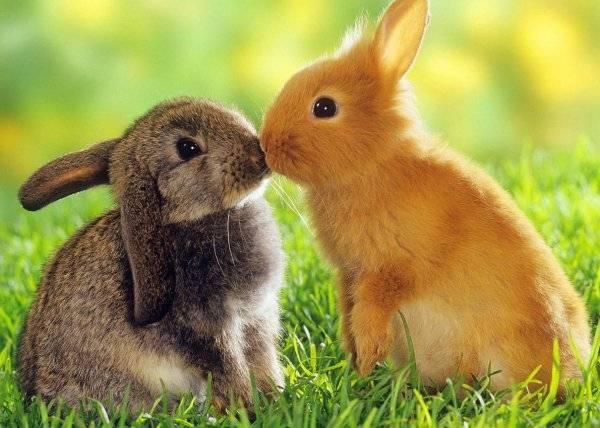 Как определить пол кролика: отличия самца от самки