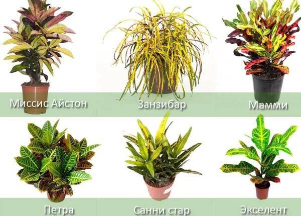 Кодиеум (64 фото): отличие от кротона. правила ухода в домашних условиях. как выглядит цветок? описание кодиеума пестрого, вариегатум и других видов