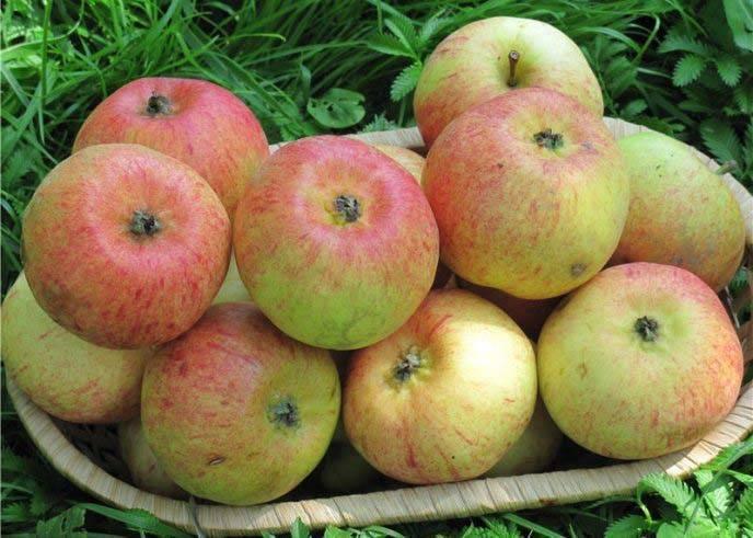 Яблоня сладкая нега описание сорта и характеристики регионы выращивания с фото