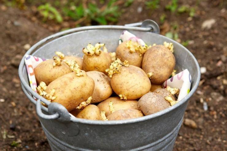 Проволочник в картошке: как избавиться, народные средства