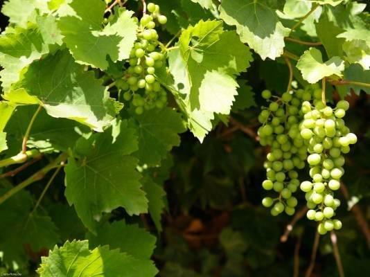 Зеленые сорта винограда