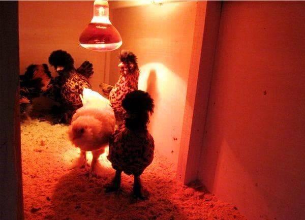Инфракрасная лампа для курятника: рассмотрим суть
