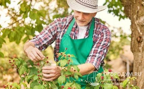 Малина новость кузьмина: описание сорта, фото, отзывы, урожайность
