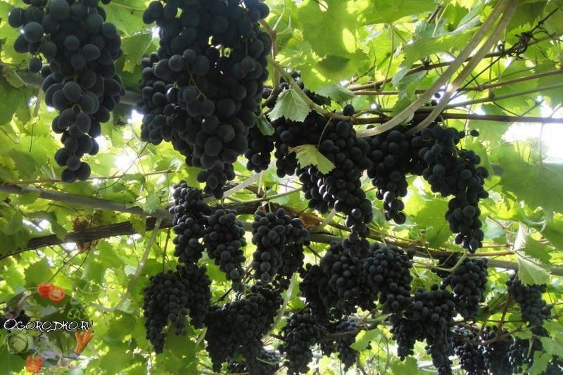 Особенности винограда сорта сувенир