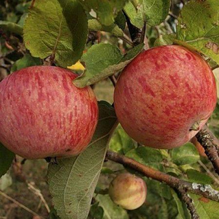 Яблоня штрифель: описание, фото. выращивание, уход
