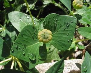 Богатый лечебными свойствами многолетник молочай палласа (мужик корень)
