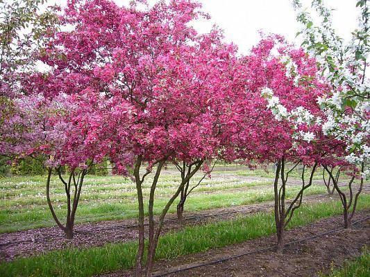 Яблоня недзвецкого: особенности и характеристики сорта