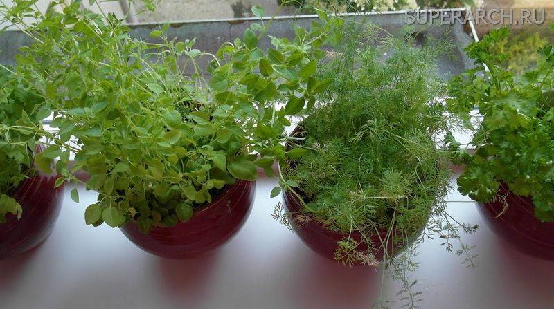 Выращивание укропа на подоконнике из семян: как сажать и ухаживать за зеленью зимой в домашних условиях