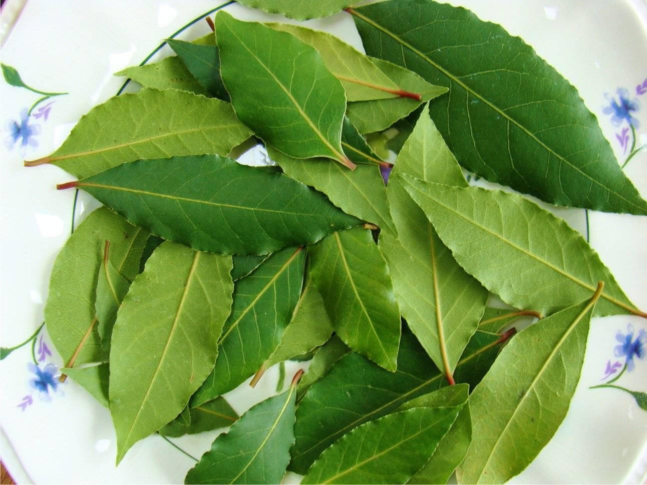 Как вырастить лавровый лист из семян: в домашних условиях и открытом грунте, как правильно посадить и ухаживать, размножение черенками, укоренение, вредители