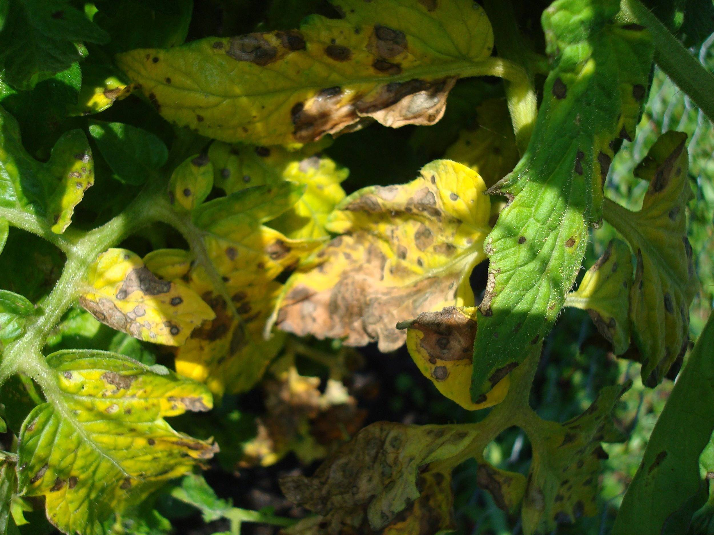Что делать если желтеют листья помидоров в теплице: 6 советов