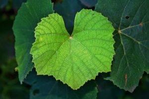 У винограда сохнут листья по краям и скручиваются: освещаем все нюансы