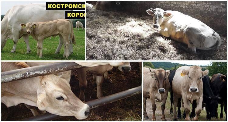 Костромская порода коров характеристика фото отзывы