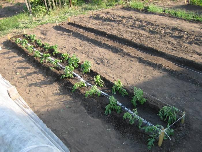 Мастер-класс по высадке рассады помидоров в грунт