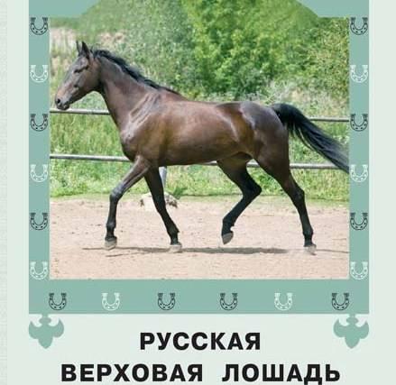 Достоинства и недостатки лошадей породы русский рысак