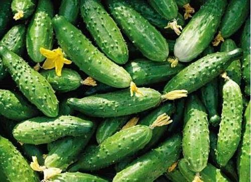 Огурец хабар: описание и характеристика сорта, фотографии, выращивание и уход