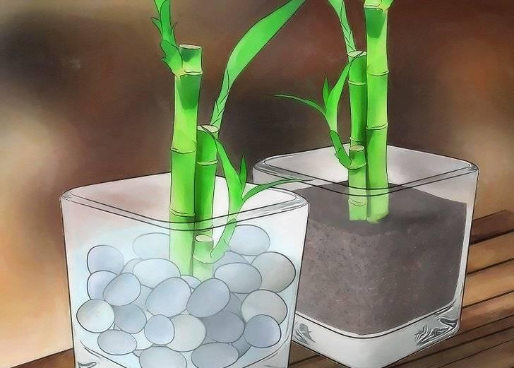 Как пересаживать бамбук в домашних условиях? грунт и горшок для бамбука - sadovnikam.ru