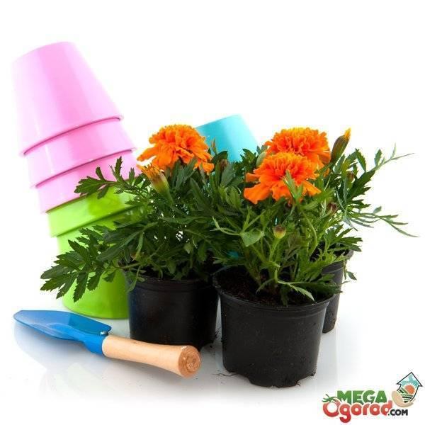 Цветы бархатцы, как правильно осуществить посадку и уход в домашних условиях и открытом грунте?