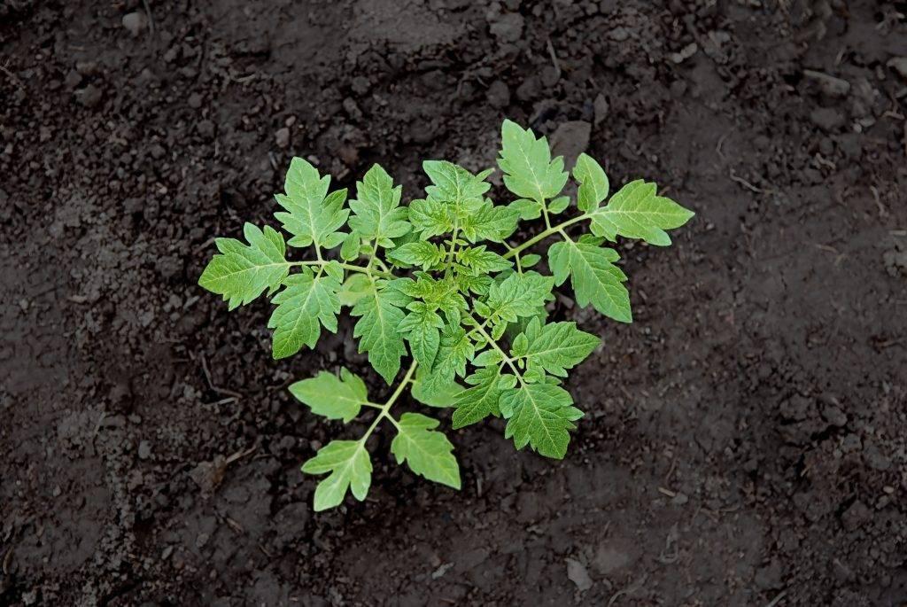 Какая оптимальная температура почвы для выращивания томатов
