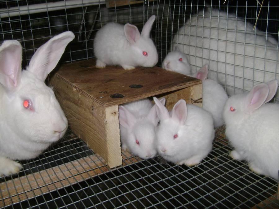 Кролик белый паннон: описание породы, особенности разведения и содержания в домашних условиях