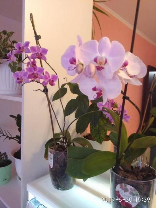 Разные виды орхидей фаленопсис: самая красивая, карликовые, крупноцветковые, каскадные, маленькие, лимонные, ампельные, ароматные, вариегатные, микро-сапфир