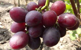 Виноград эверест - сорта винограда   описание, советы, отзывы, фото и видео