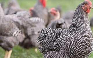 Описание породы кур плимутрок полосатый — содержание и уход, болезни, фото куриц