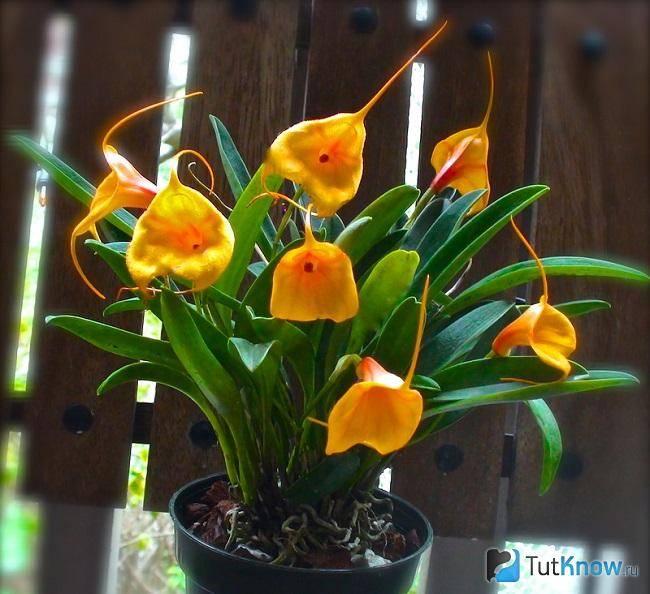 Масдеваллия (masdevallia). уход, способы размножения в домашних условиях. | floplants. о комнатных растениях