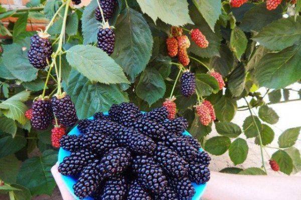 Ежемалина логанберри: описание сорта и 3 способа размножения