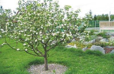 Сколько лет живет и плодоносит яблоня
