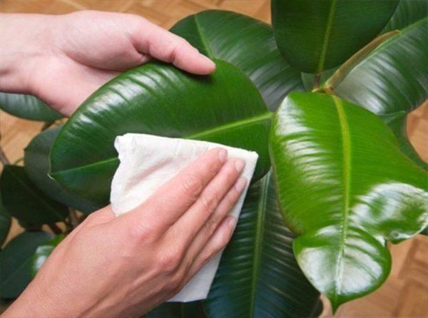 Особенности выращивания фикуса робуста: простые правила ухода в домашних условиях