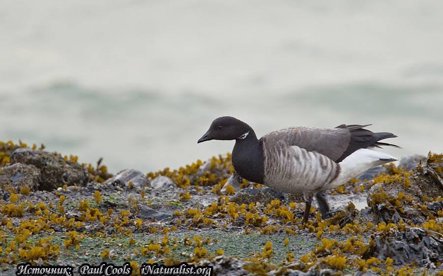 Виды диких гусей: популярные разновидности казарок с описанием и фото
