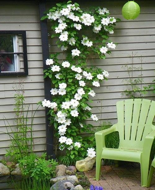 Посадка клематиса в открытый грунт весной: советы цветоводам