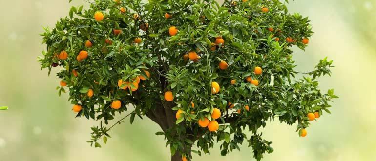 Апельсиновое дерево на подоконнике – секреты выращивания и плодоношения