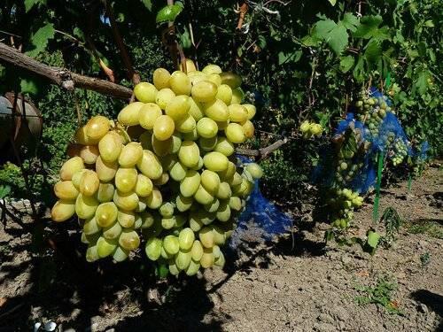 ᐉ краткие сведения о развитии виноградарства и виноделия в мире - предисловиеи введение к т. 1 - roza-zanoza.ru