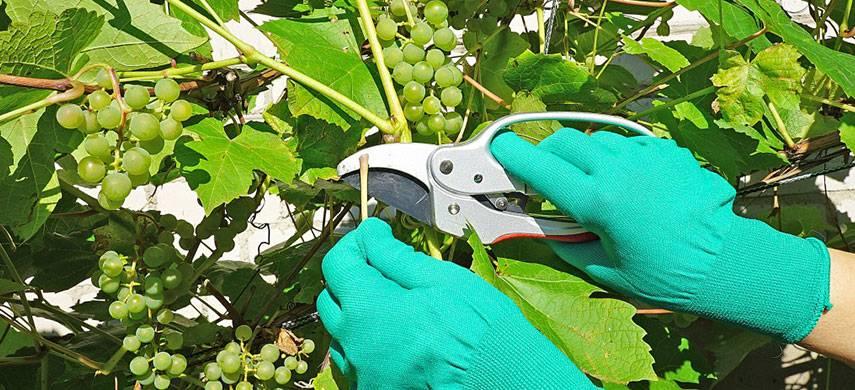 Как укрыть на зиму саженец молодого винограда первого года: температура и способы укрытия с видео