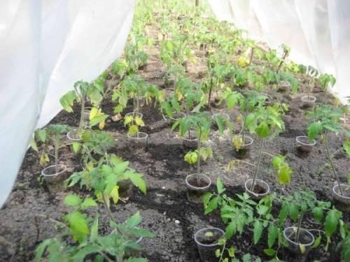 У томатов скручиваются листья во внутрь, вниз, вверх лодочкой: что делать