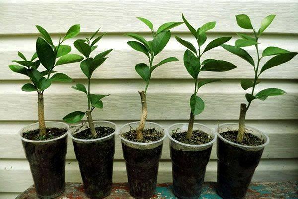 Размножение лимона черенками в домашних условиях: подготовка посадочного материала, емкости и грунта, укоренение, особенности ухода