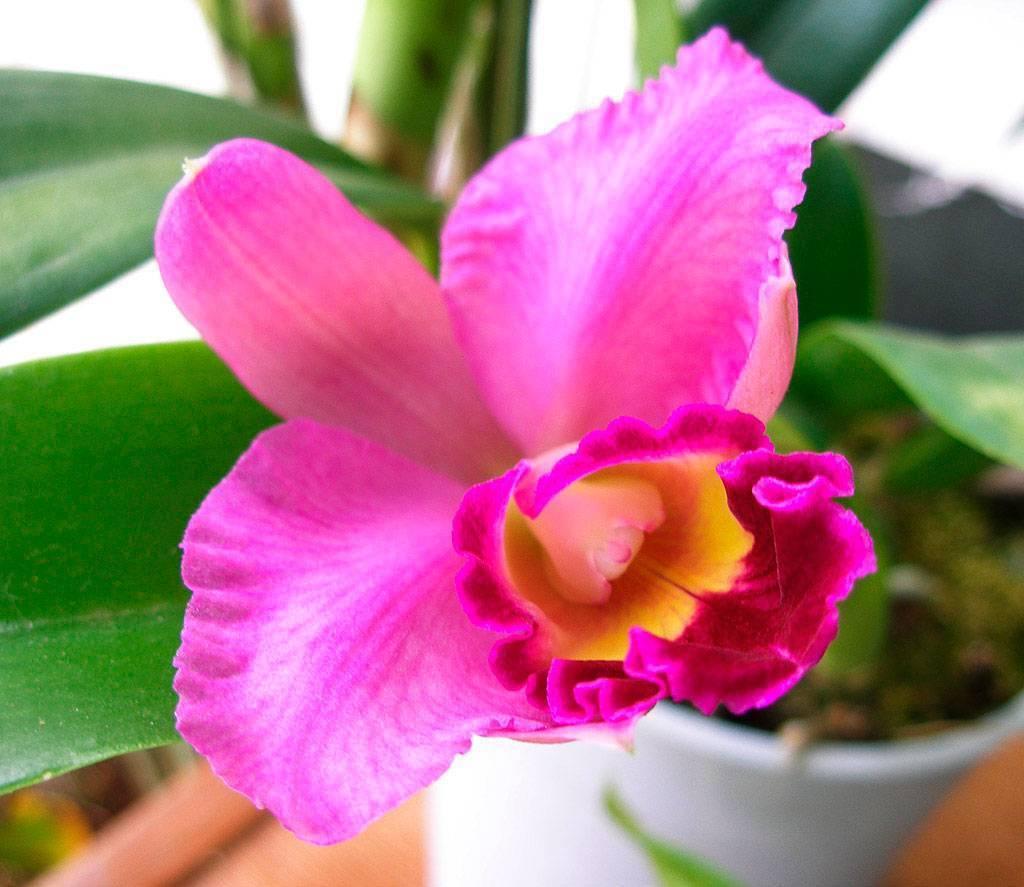 Каттлея: уход в домашних условиях и фото орхидеи