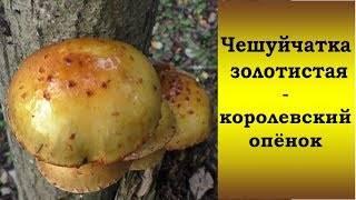 Феолепиота золотистая (phaeolepiota aurea), чешуйчатка травяная или гриб горчичник: фото и описание