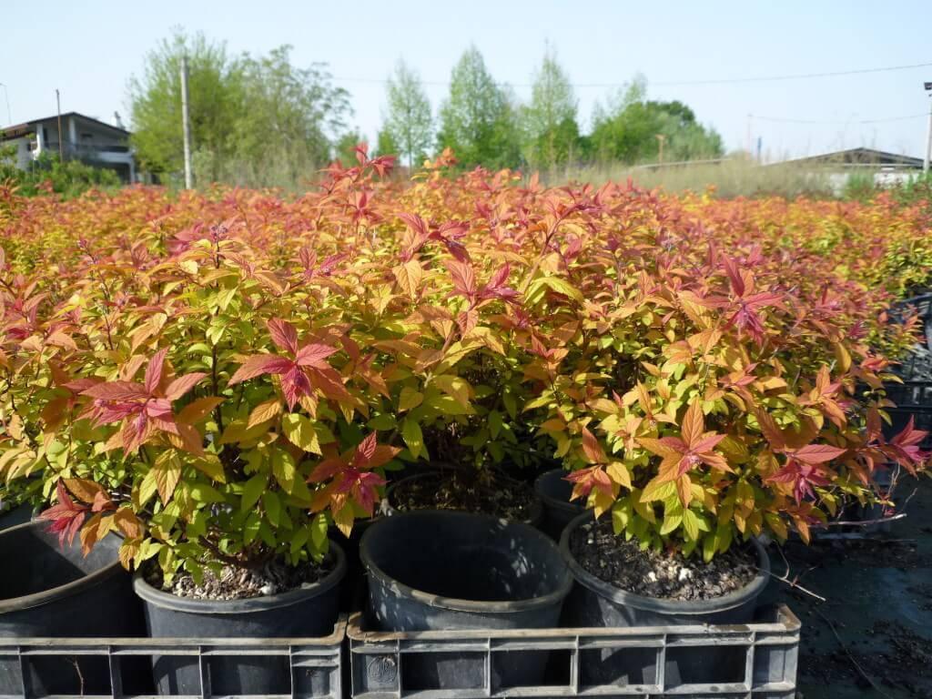 Спирея японская goldflame. спирея голд флейм - выращиваем красивый декоративный кустарник в своем саду