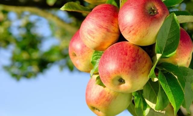 Яблоки при панкреатите: польза и вред, разрешенные сорта, способы и особенности употребления в пищу