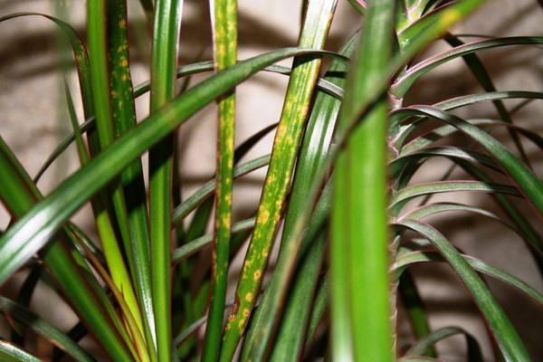 Что делать, если сохнут кончики листьев у драцены?