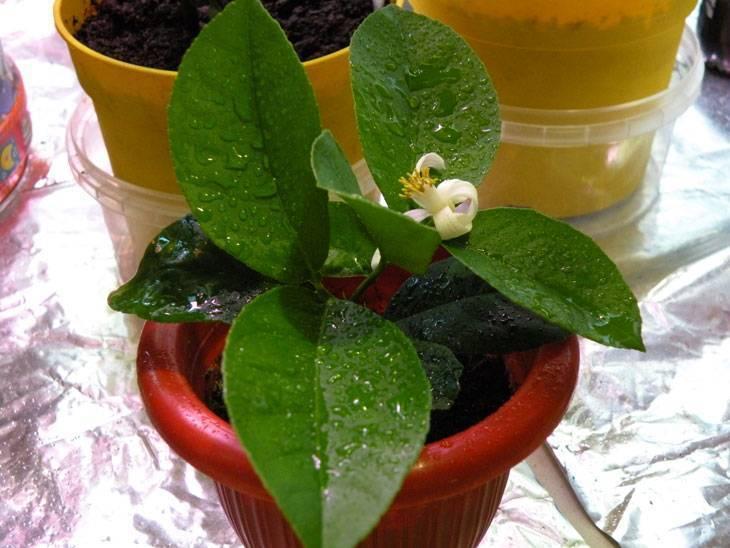 Как размножить лимон черенками в домашних условиях, укоренение и выращивание