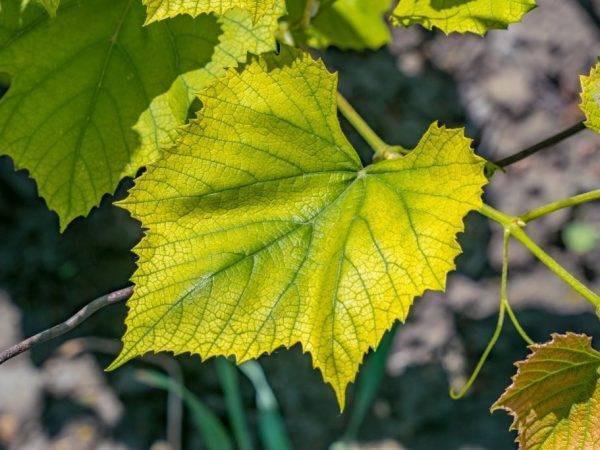 Желтеют листья у винограда: почему и что делать
