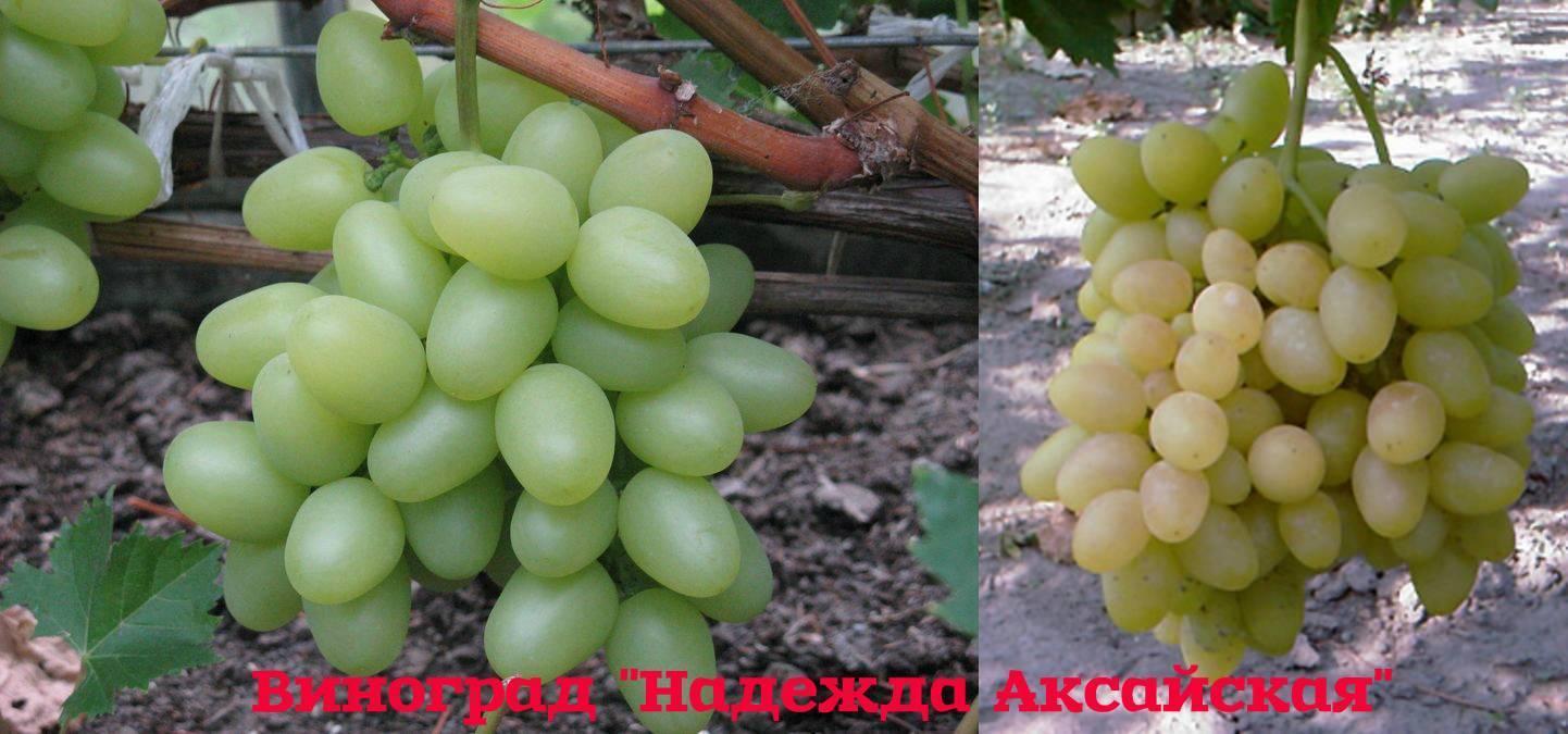 Сорт винограда надежда аксайская, описание сорта с характеристикой и отзывами, а также особенности посадки и выращивания, фото
